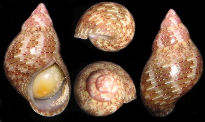 Phasianella cf variegata   Lamarck, 1822  Ressem10