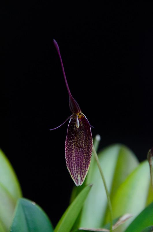 Miniatur-Orchideen Teil 3 - Seite 6 Restre10