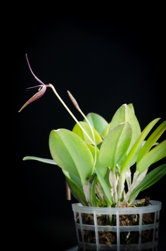 Miniatur-Orchideen Teil 3 - Seite 6 Restre11
