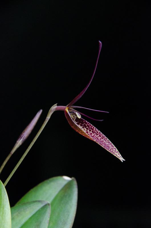 Miniatur-Orchideen Teil 3 - Seite 6 Restre12