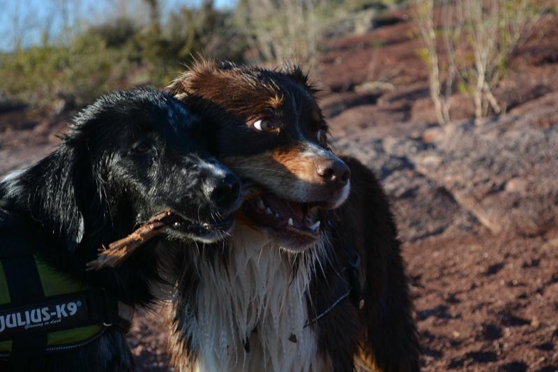 POGO (chien croisé berger) - Page 2 Dsc_7312