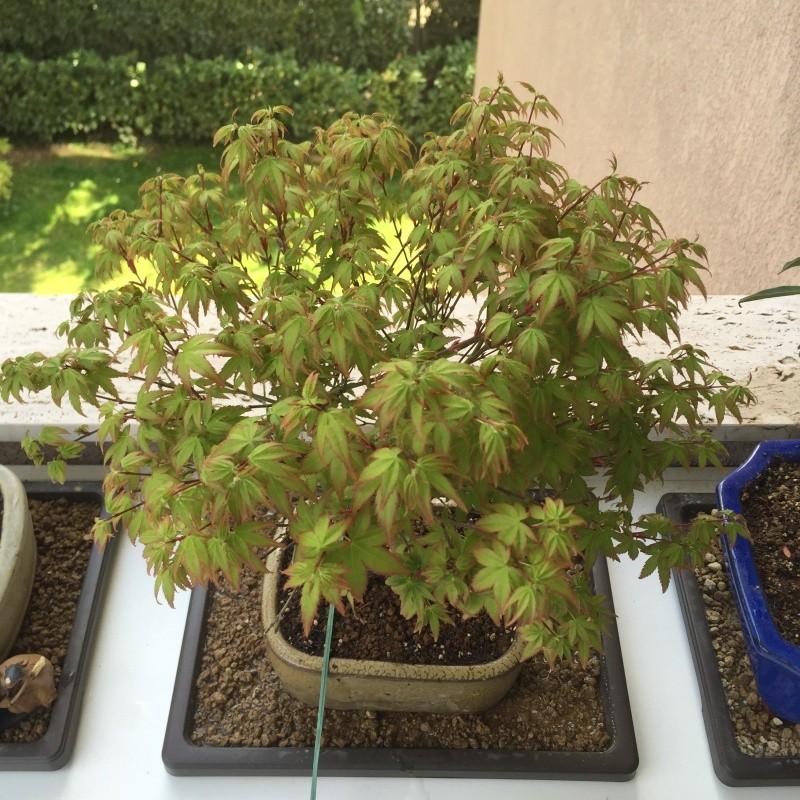 Piccolo acero kiyohime con foglie secche Img_2610
