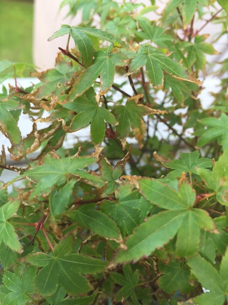 Piccolo acero kiyohime con foglie secche Img_2810