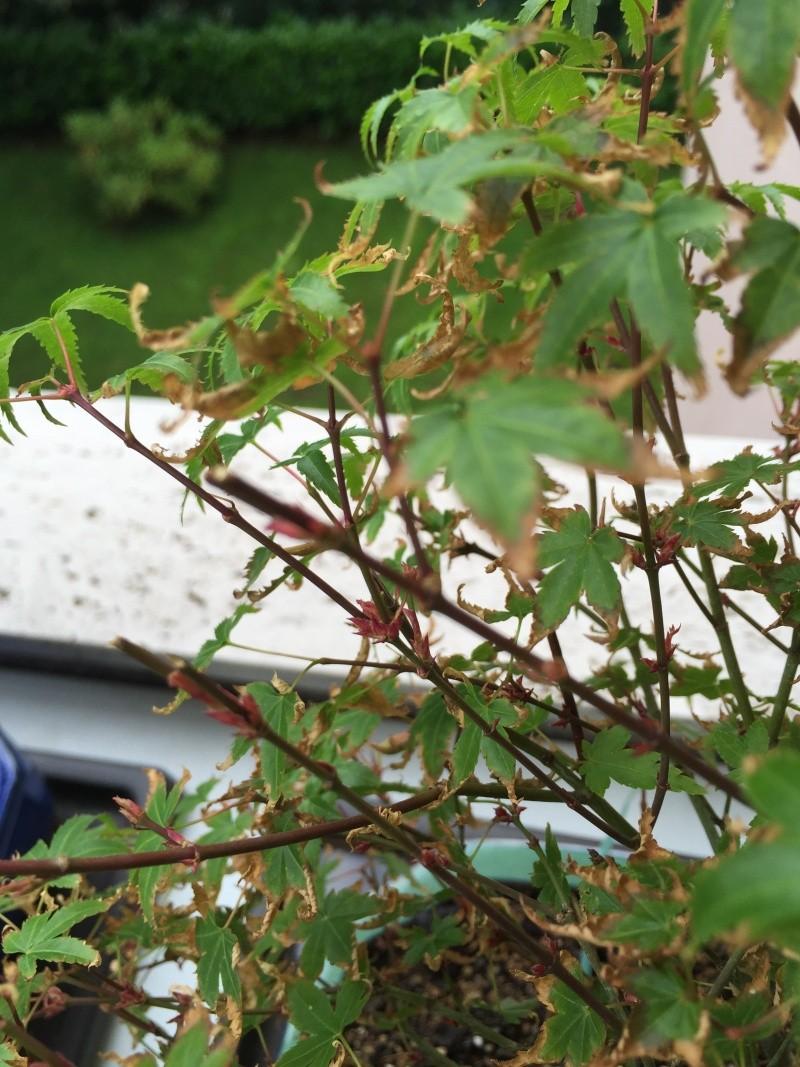 Piccolo acero kiyohime con foglie secche Img_2916