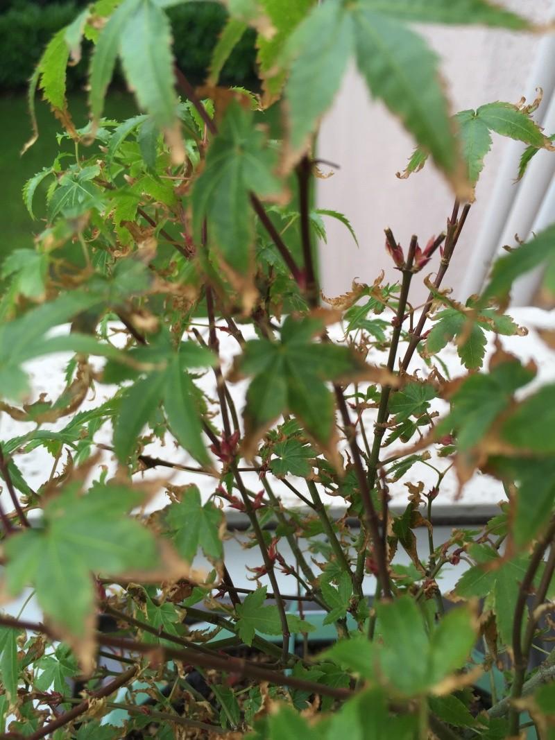 Piccolo acero kiyohime con foglie secche Img_2917