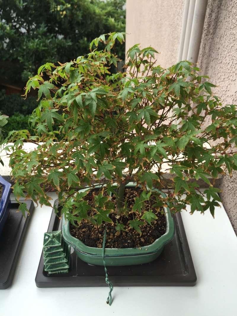 Piccolo acero kiyohime con foglie secche Img_2919