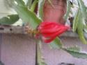 épiphyllums P1006110