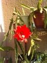 épiphyllums P1206110