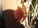 épiphyllums P2006110
