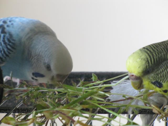 bluee et grisette Img_8212