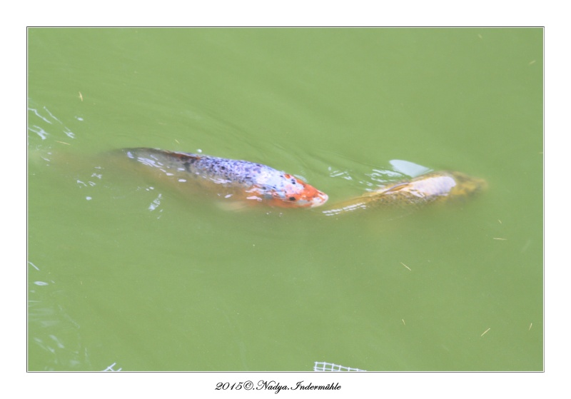 Les poissons de nos bassins Cadre140
