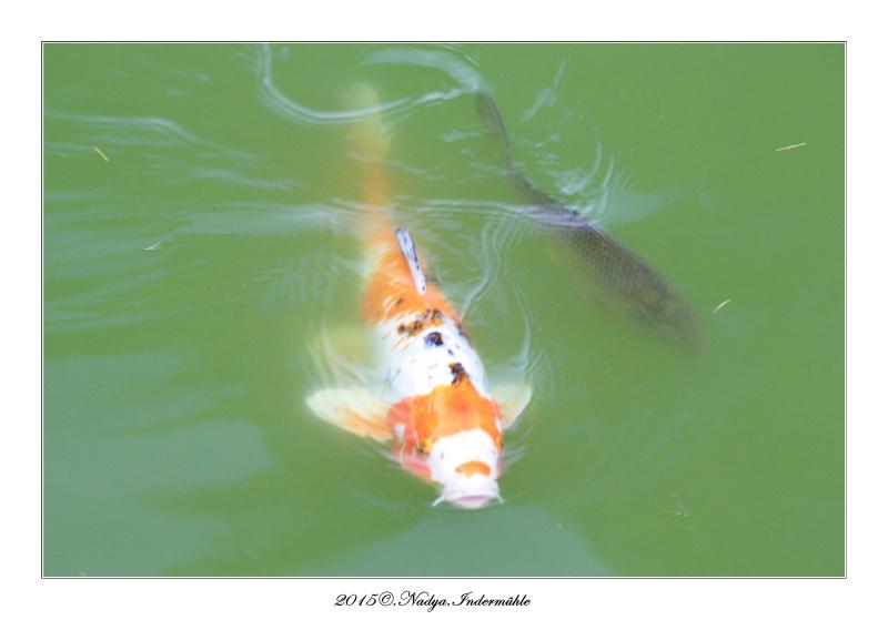 Les poissons de nos bassins Cadre143