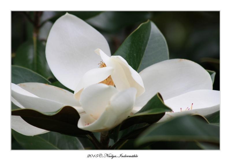 Mon magnolia dans les Ardennes Cadre180