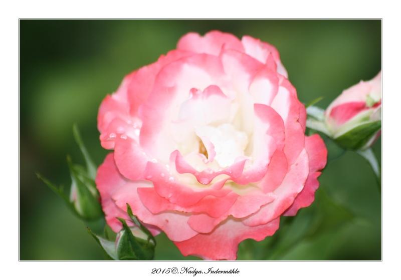 Les roses. Cadre203