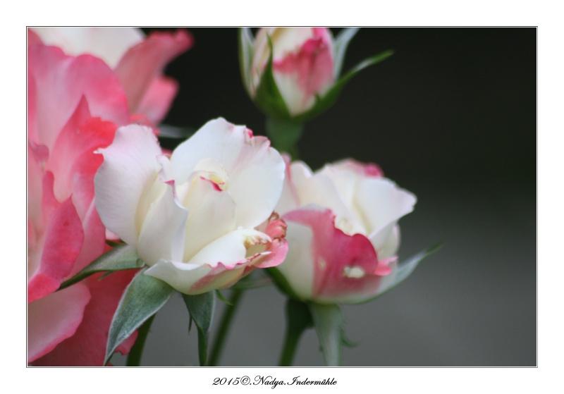 Les roses. Cadre204