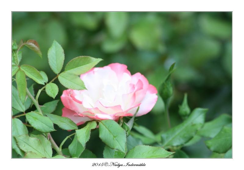 Les roses. Cadre206