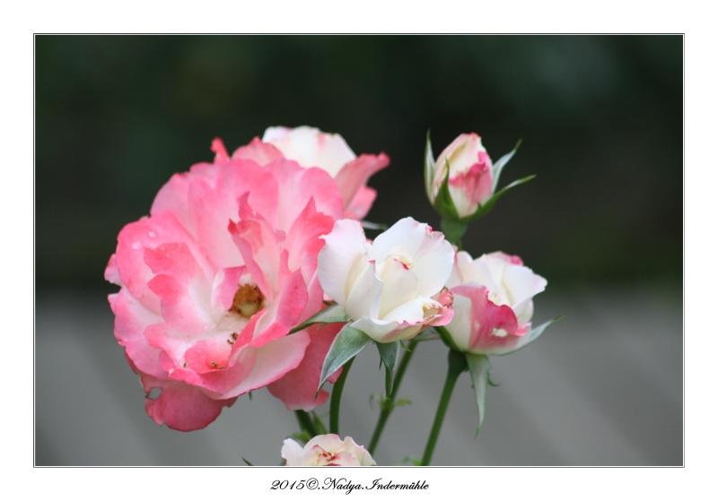 Les roses. Cadre207