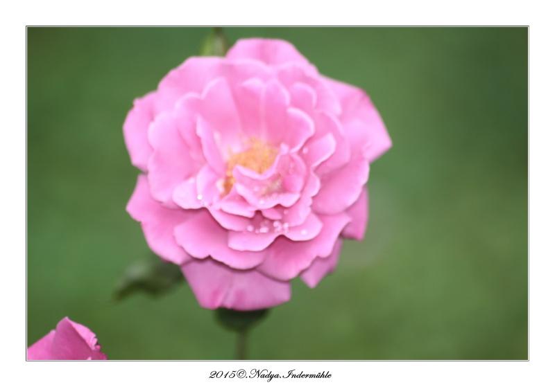 Les roses. Cadre208