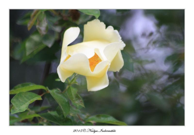 Les roses. Cadre213
