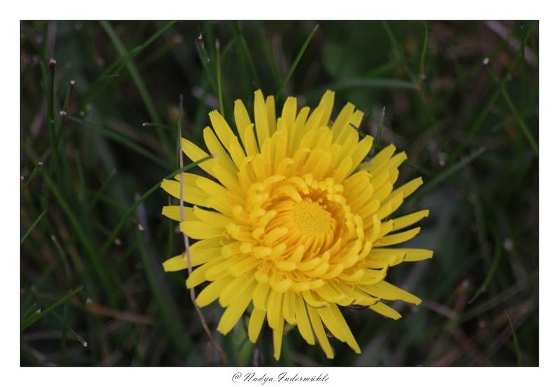 Fleur de pissenlit Cadri103