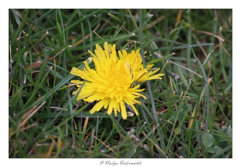Fleur de pissenlit Cadri104