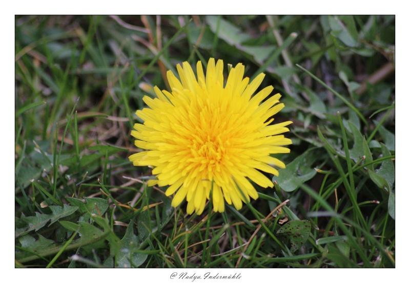 Fleur de pissenlit Cadri105