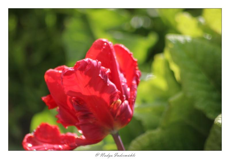 Les tulipes Cadri190