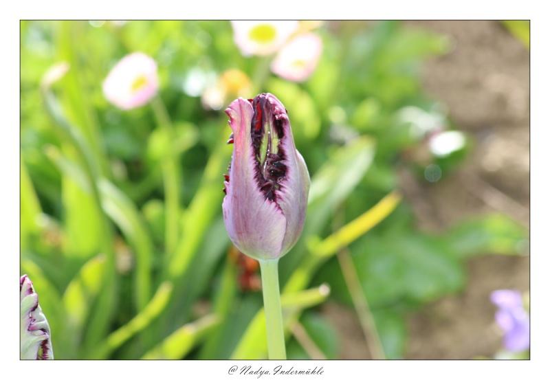 Les tulipes Cadri191