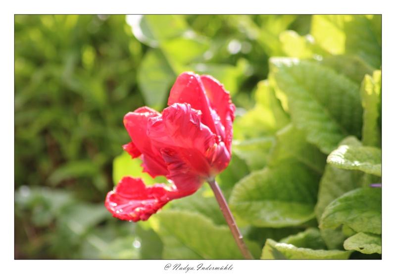 Les tulipes Cadri192