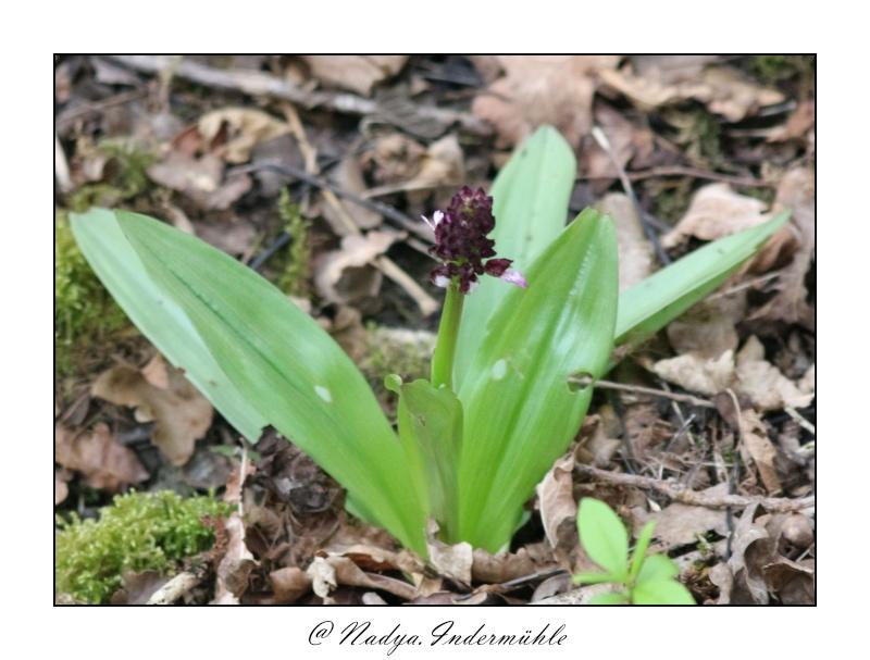 Orchidée sauvage (France) Cadri203