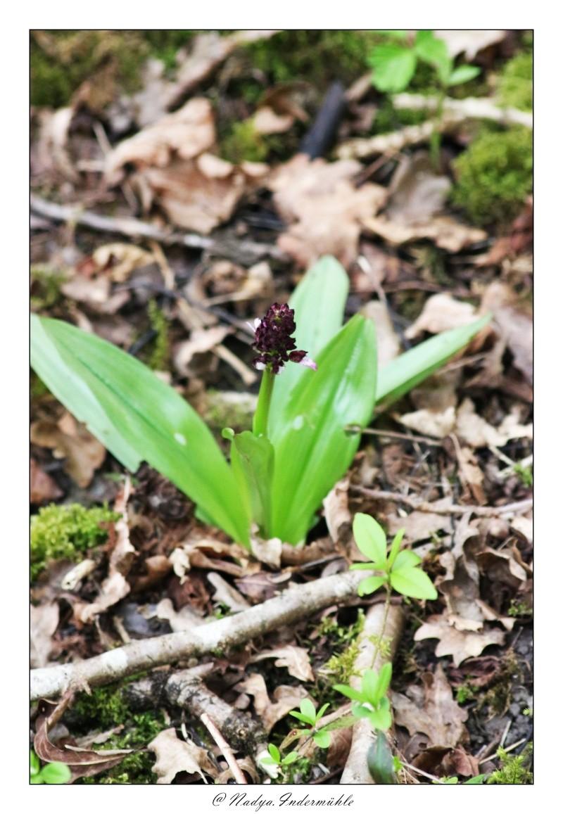 Orchidée sauvage (France) Cadri204