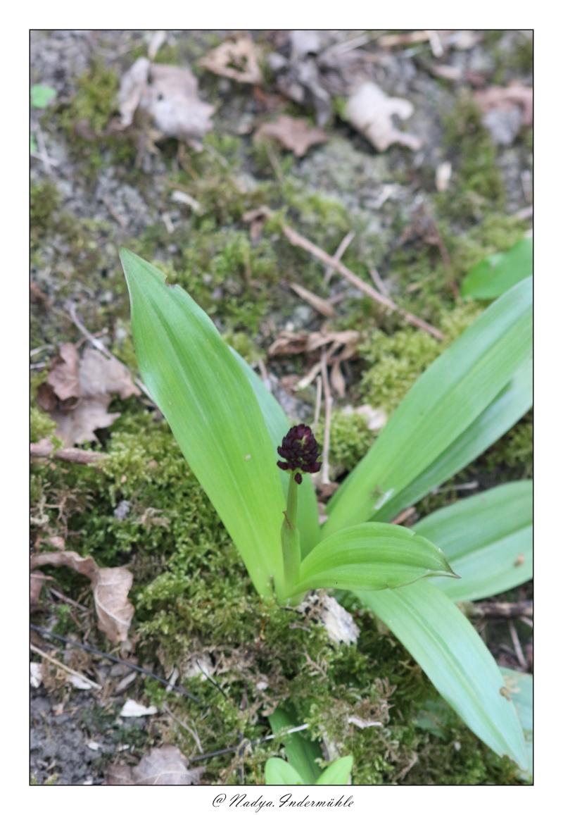 Orchidée sauvage (France) Cadri205