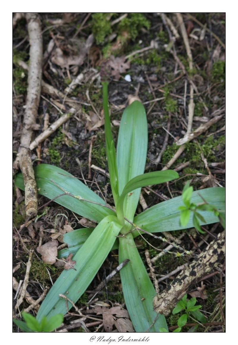 Orchidée sauvage (France) Cadri206