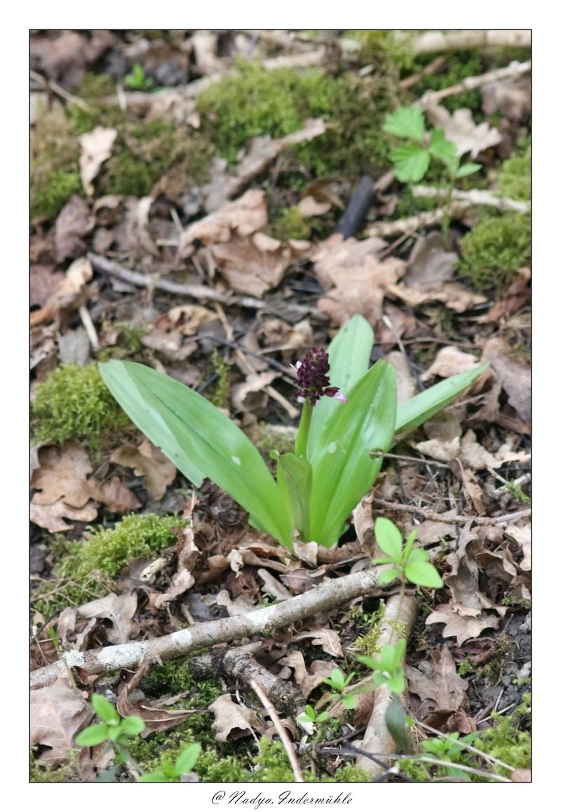 Orchidée sauvage (France) Cadri207