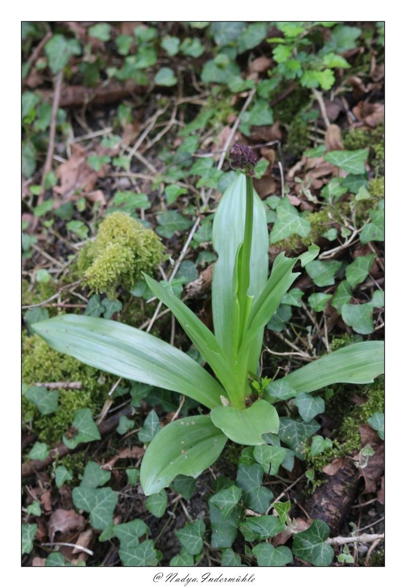 Orchidée sauvage (France) Cadri208
