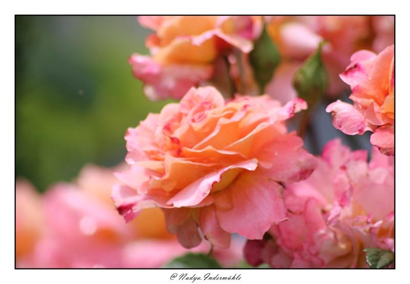 Les roses. - Page 2 Cadri309