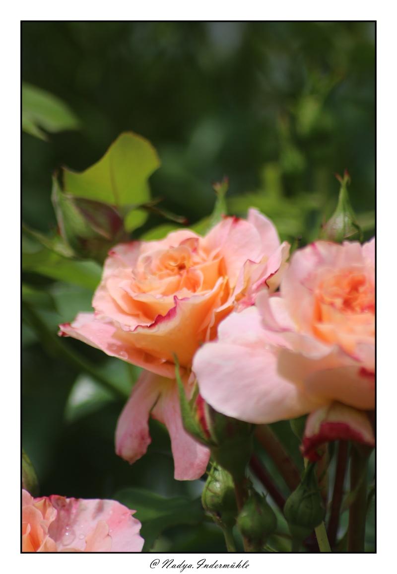 Les roses. - Page 2 Cadri310