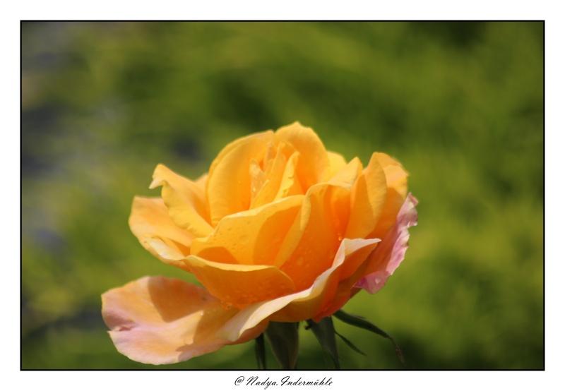 Les roses. - Page 2 Cadri311