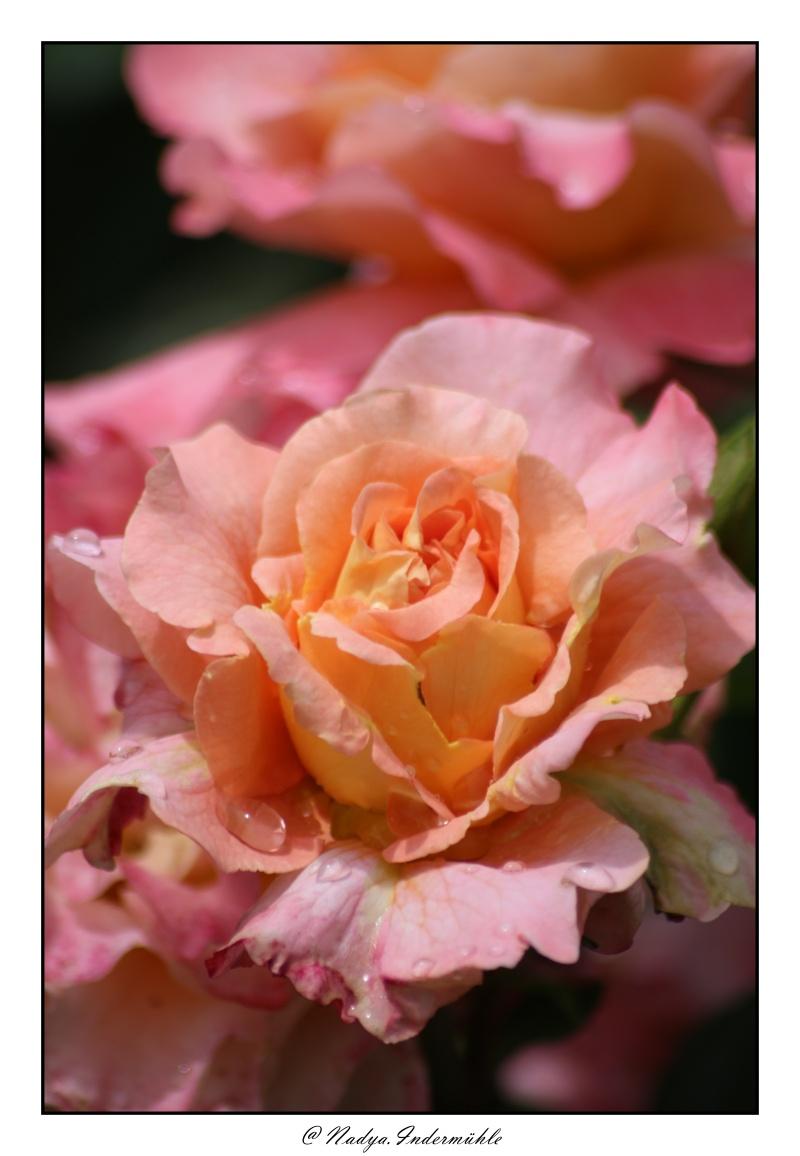 Les roses. - Page 2 Cadri312