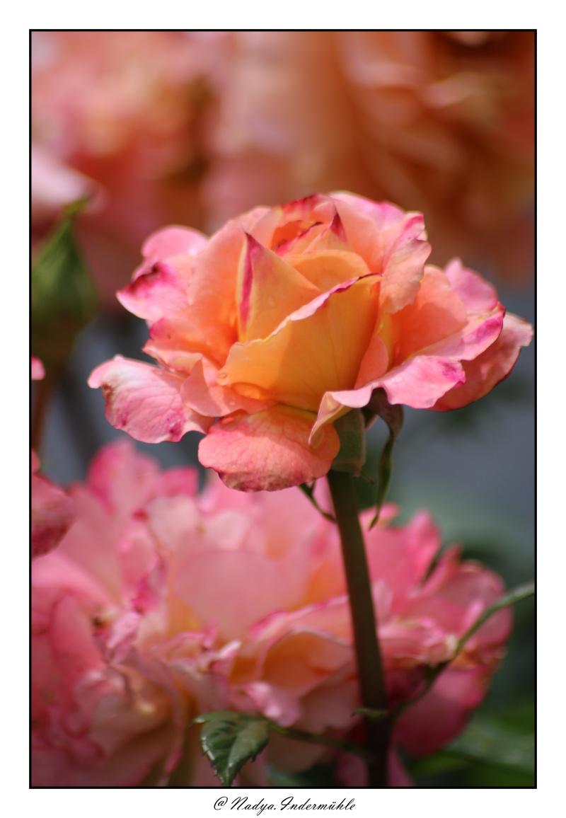 Les roses. - Page 2 Cadri313