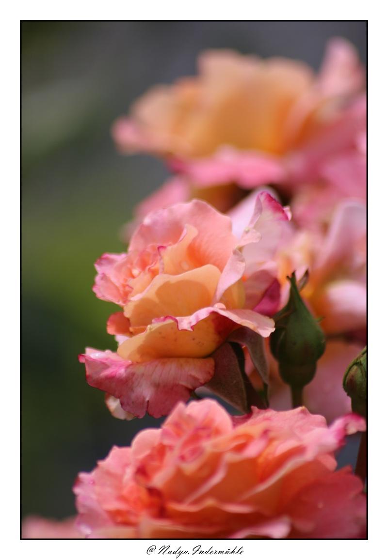 Les roses. - Page 2 Cadri314