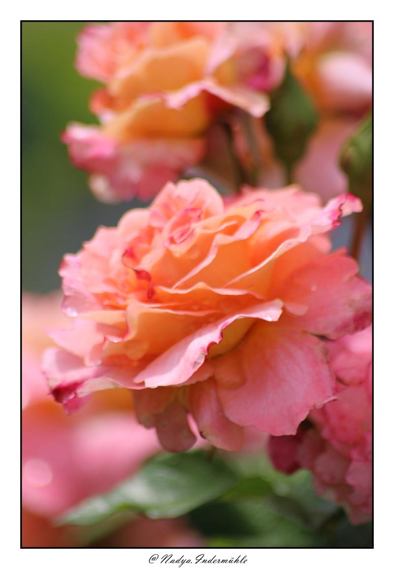 Les roses. - Page 2 Cadri315