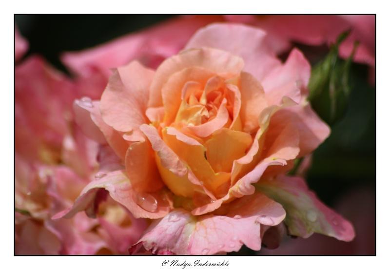 Les roses. - Page 2 Cadri317