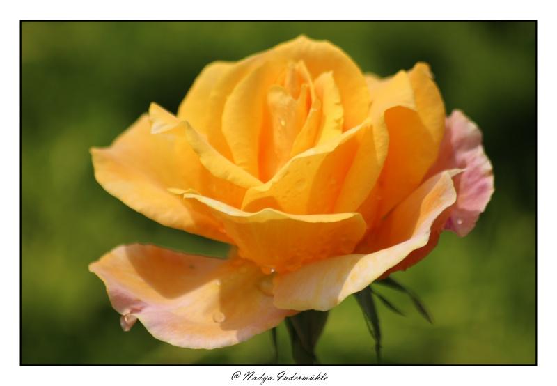 Les roses. - Page 2 Cadri318