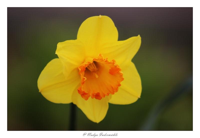 Jonquille, Narcisse - Page 5 Cadrim10