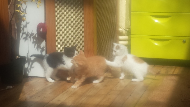 mozart - Mozart, chaton blanc et roux né le 23/03/2016 20160516