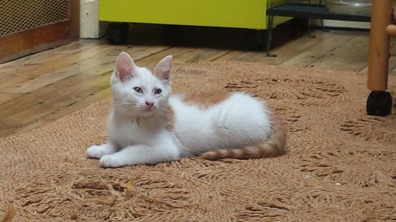 mozart - Mozart, chaton blanc et roux né le 23/03/2016 20160611