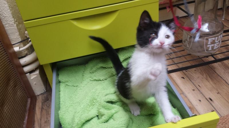 missy - Missy, petite chatonne blanche et noire née le 25/03/2016 20160612