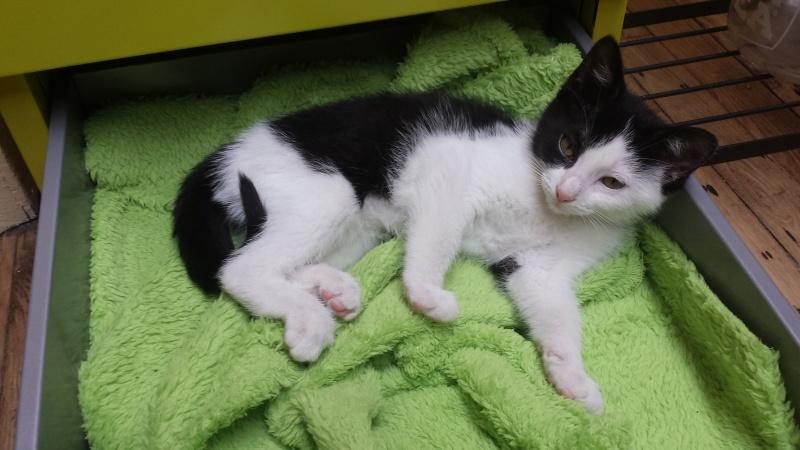 missy - Missy, petite chatonne blanche et noire née le 25/03/2016 20160613
