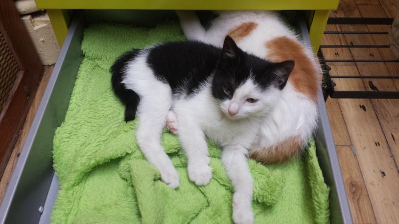 missy - Missy, petite chatonne blanche et noire née le 25/03/2016 20160614
